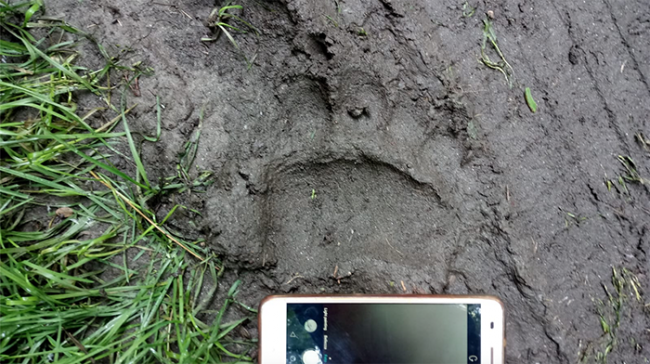 impronta orso fango giugno 20 mergozzo