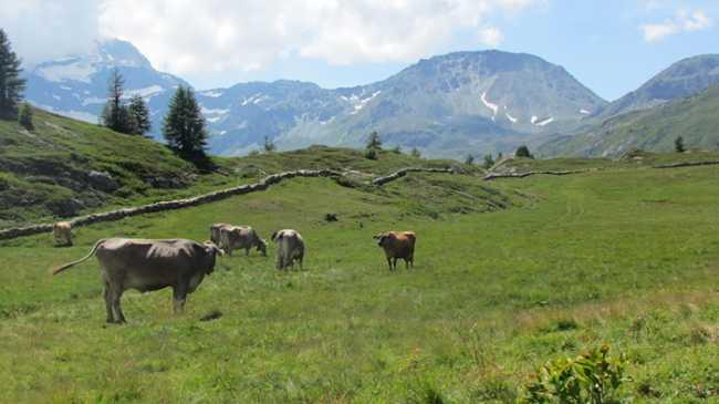 mucche prato ghaleorn fabbri