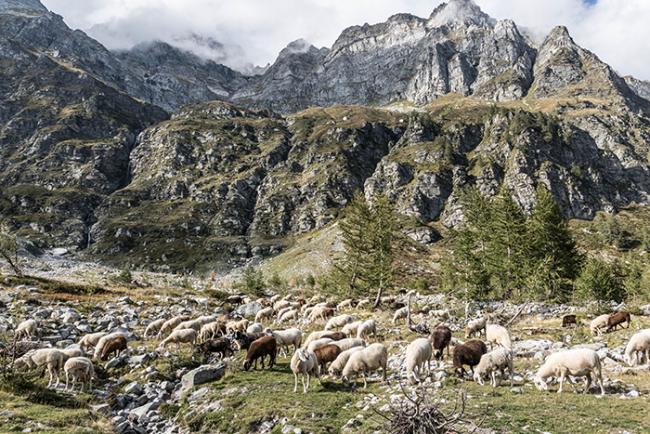 pecore devero montagna buscagna